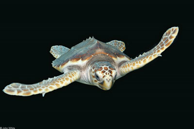 Photo of Loggerhead Seaturtle courtesy of JohnWhite