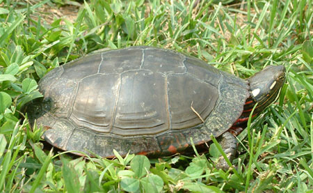 Midland Painted Turtle Photo Courtesy of Linh Phu