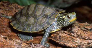 Photo of Northern Map Turtle courtesy of Jim Harding