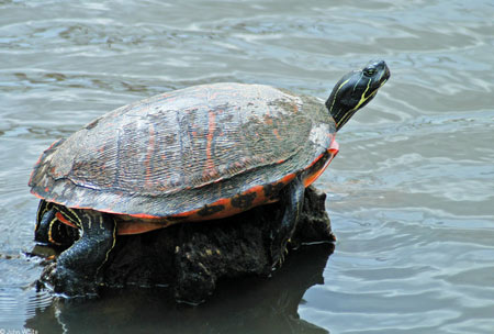 Photo of Northern Red-bellied Cooter courtesy of John White.
