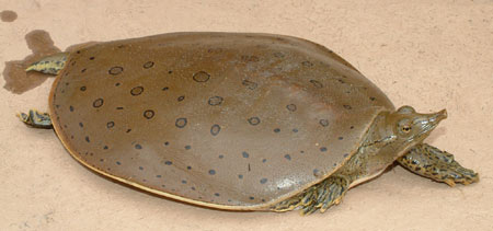 Photo of Eastern Spiny Softshell courtesy of Linh Phu