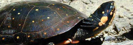 Photo of Spotted Turtle courtesy of Tony Prochaska.