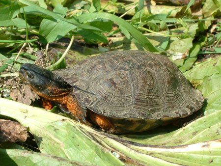 Photo of Wood Turtle courtesy of Linh Phu.