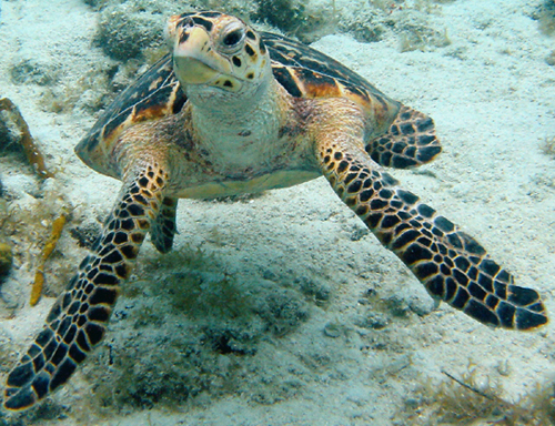 Photo of Atlantic Hawksbill Seaturtle, courtesy of Caroline Rogers, USGS