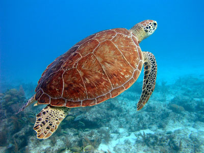 Green Seaturtle, i-Stock Image