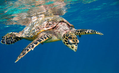 Atlantic Hawksbill Seaturtle, i-Stock photo