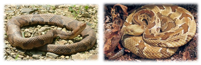 Left picture of a Northern Copperhead and the right picture of a Timber Rattlesnake.