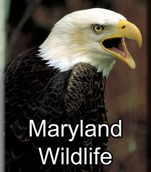Maryland Wildlife