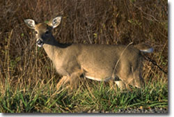 White-tail deer in meadow, courtesy of USDA